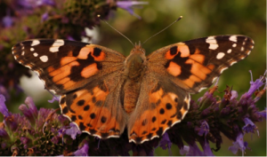 Painted Lady – Vanessa Cardui