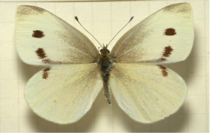 Small white – Pieris rapae